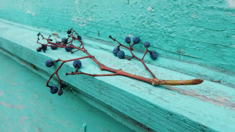 Branche de raisins bleu, sur un rebord en bois turquoise.